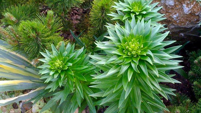 Пушистые ежики - лилии собирают силы для цветения