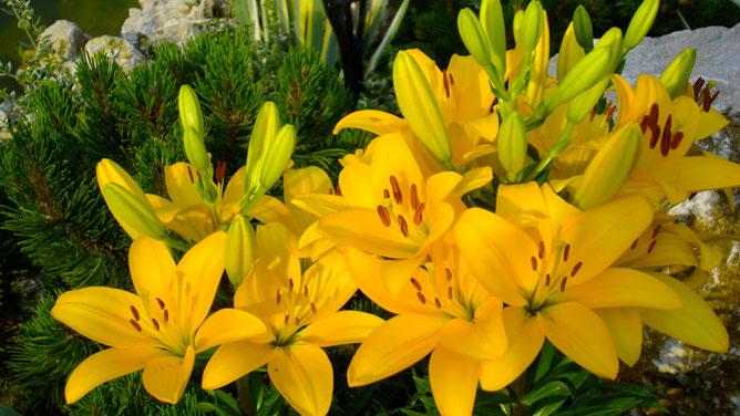 Раз цветок, два цветок... Посчитайте сколько желтых лилий
