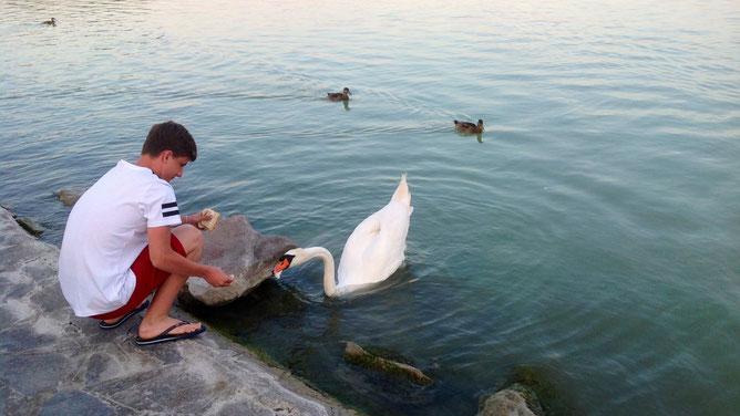 Лебеди совсем ручные, любят  белый хлеб из рук отдыхающих.