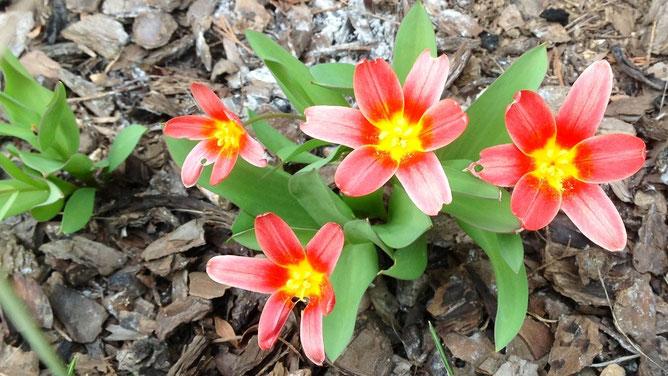 Лилипуты тюльпаны ловят весенние лучики солнца