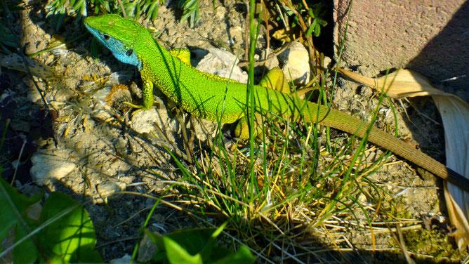 Юркие сине-зеленые ящерицы обожают ползать между камней