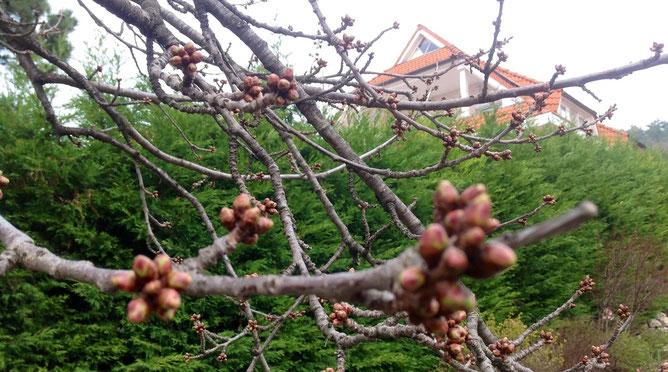 Черешня в нашем саду, ей уже более пятидесяти лет