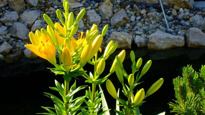 Начало цветения, на одном стебле более двадцати бутонов. Черный плотный фон - гладь пруда