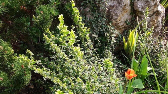 Вечнозеленый пестрый кустарник приходится обрезать каждый год. Растет очень быстро. Неприхотлив и эффектен. Блин, забыла название, память девичья :)