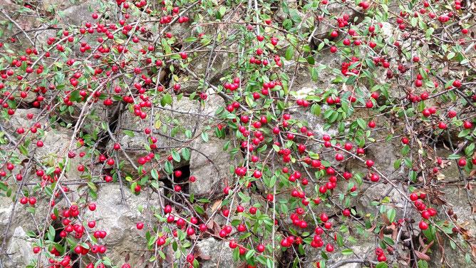 Почвопокровный кустарник с эффектными красными ягодками радует глаз круглый год