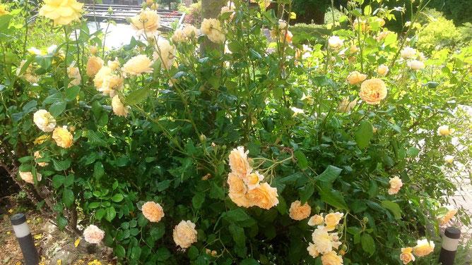 Розы потихоньку восстанавливается после сильных ветров и дождей