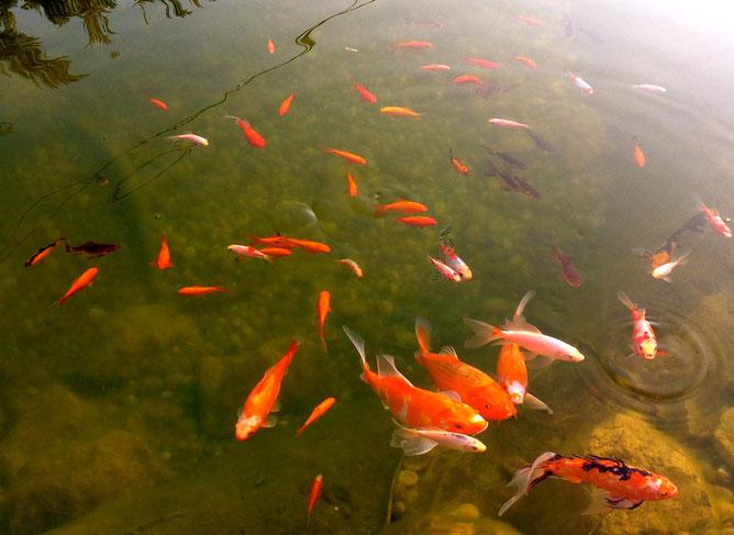 Наши  любимые рыбки в прудике, ради которых и  расходуется дополнительно  вода и электроэнергия.