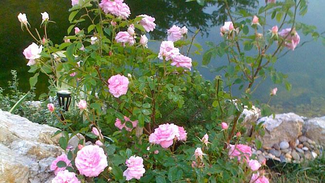 Розовое на фоне водной глади пруда