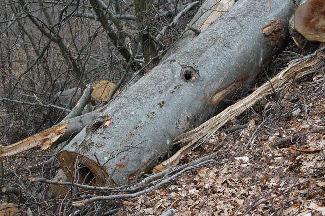 Gefällter Buchen-Biotopbaum, Foto: S. Ecker