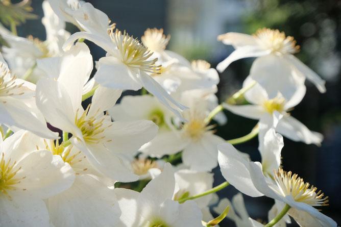 dieartigeBLOG - GARTEN // englische weiße Waldrebe