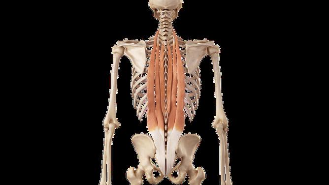 Muscoli erettori della colonna