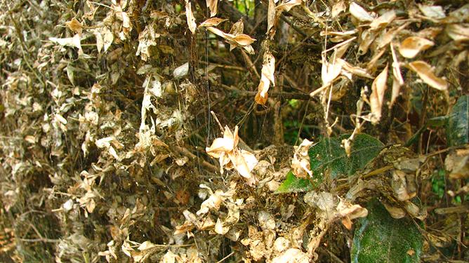 Вот в такую труху за короткое время превращается самшитовая изгородь