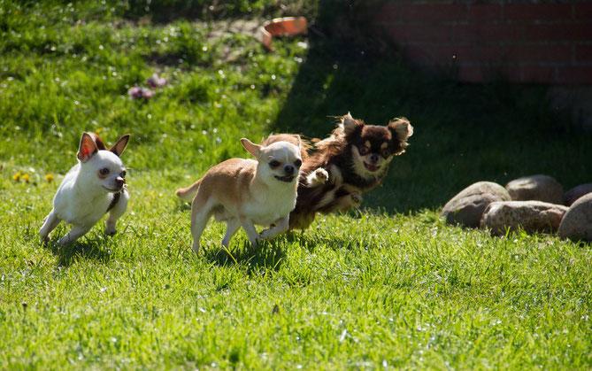 Chi-Love.de| Chihuahua von den kleinen Piraten