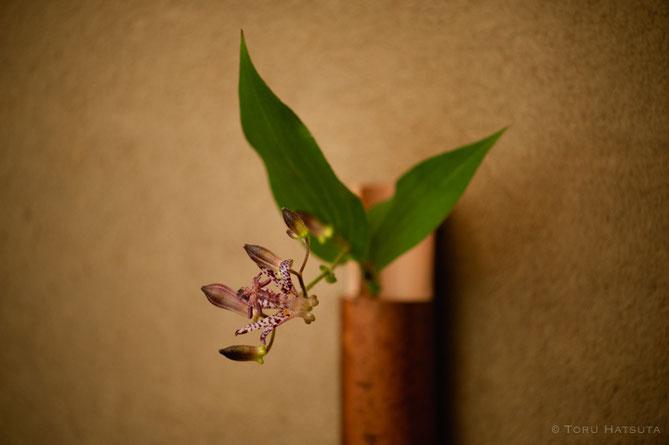 複雑な姿をしたホトトギスの花に寄って