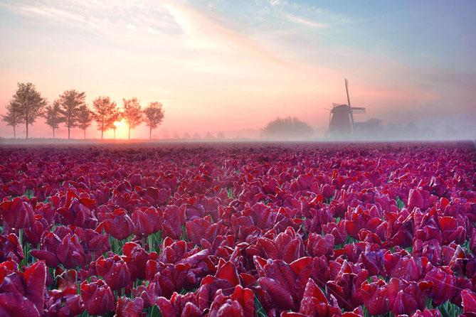 542. Rood tulpenveld op een mistige ochtend. (6803)