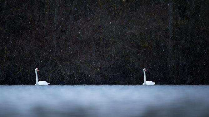 Sebastian Vogel, winter, schnee, vogelfoto, schwan
