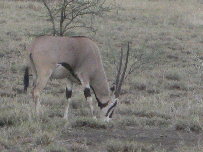 ... oryx ...