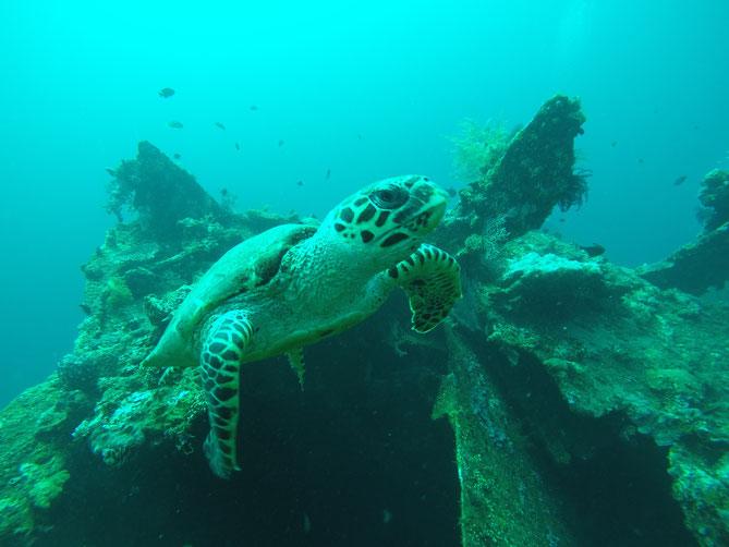 Schildkröte, Tauchen, Bali, 2017, Unterwasserschildkröte, USS Liberty, Wrack, Tauchgang, Liberty, Zwei auf Achse