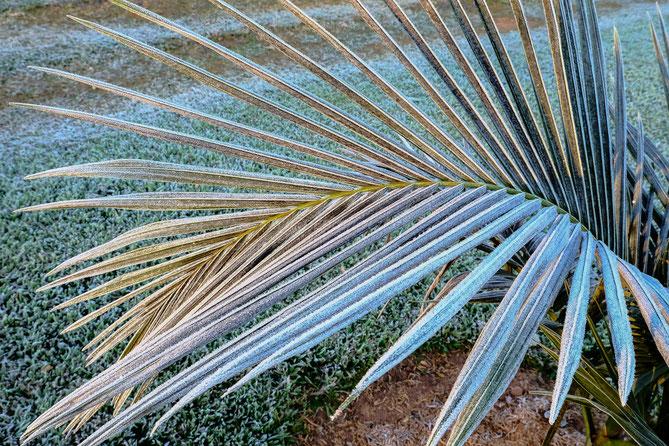 Kälteeinbruch und Frost in Paraguay Königspalme erfroren