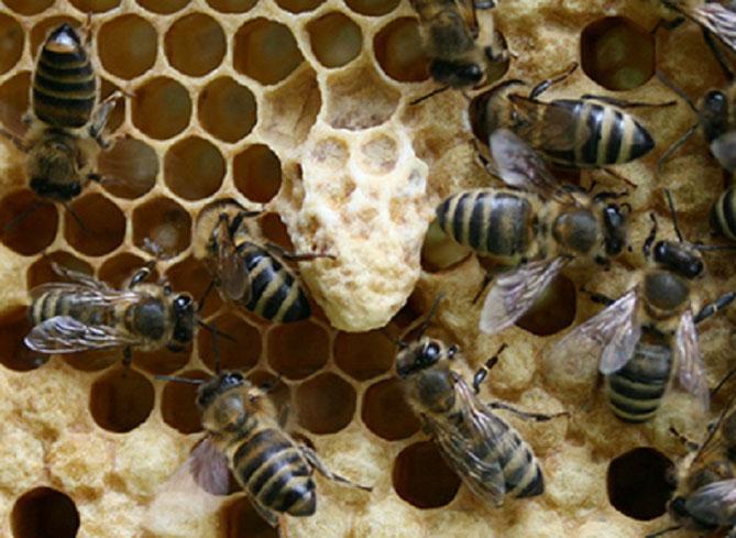Weiselzelle, Bienenzuchtverein Merkstein, Bienen Merkstein, Bienen Aachen, Bienenverein Merkstein, Bienenverein Aachen, Biene, Bienen, Merkstein