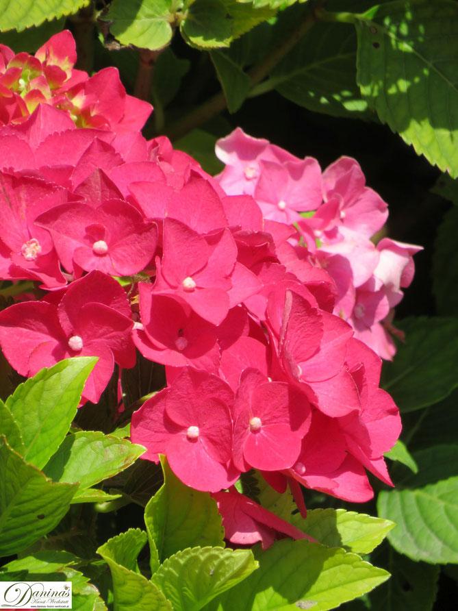 Hortensien im Sommer