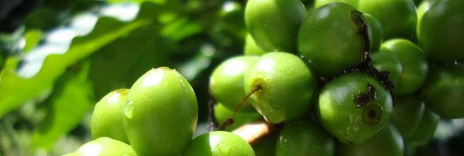 タイ北部山岳地帯の少数民族が有機農法で栽培しているコーヒー豆