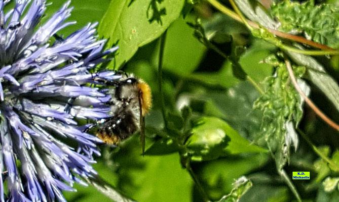 Pelzige Honigbiene an der Blüte einer blauen Kugeldistel beim Nektarsammeln von K.D. Michaelis