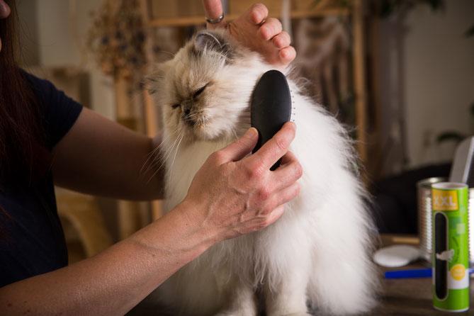 Mit viel Geduld und Katzenverständnis klappt auch das tägliche Bürsten wie am Schnürchen