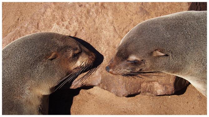 Otarie à fourrure du Cap de Namibie