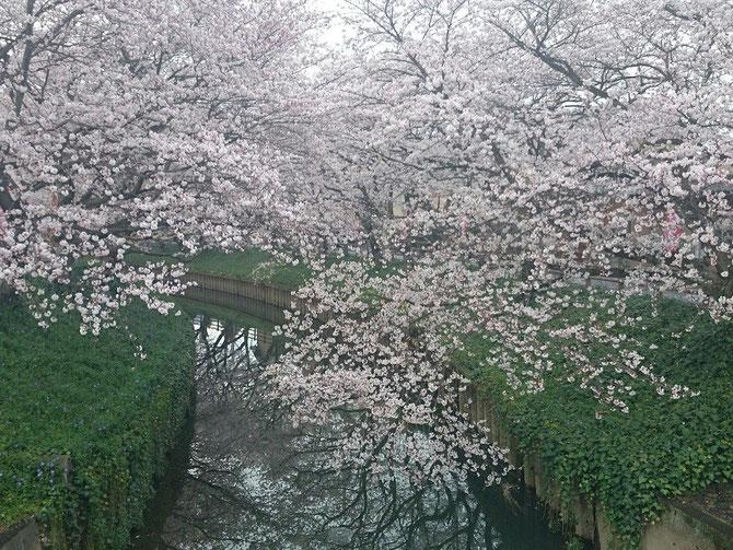 中須川の桜です