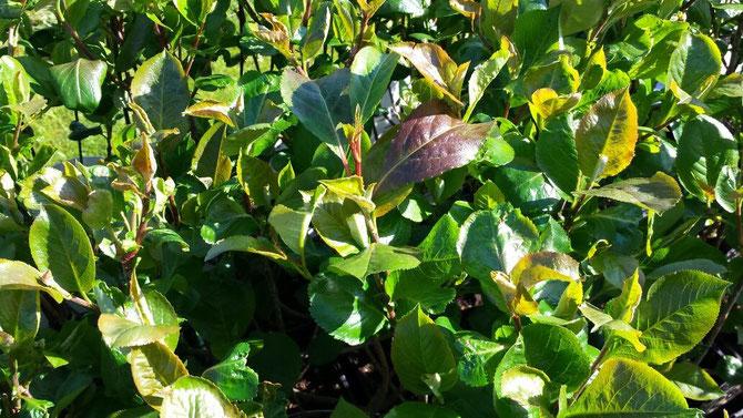 Aronia Pflanze Strauch