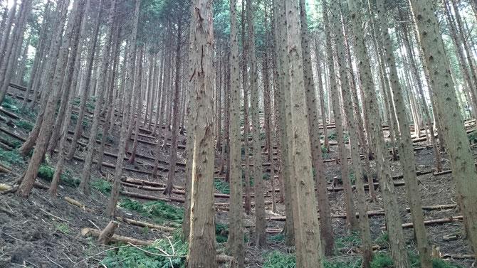 奥地の森林にて間伐(戦後に先人によって植えられたスギ・ヒノキを間引くことによって、残した立木の成長や森林環境を改善する作業:森の深呼吸)。 間伐材を等高線方向へ並べ、現地で作った杭を打ち安定させる。この作業により表土の流出を抑制し、下層植生(地面から生えてくる小さな木や草)が回復する。 地中内に強固な根が張り巡ることにより、表層崩壊等の防災効果が発揮される。