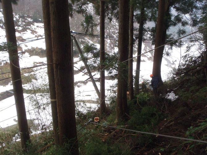 電線・道路沿い、斜面でのスギ伐採作業風景