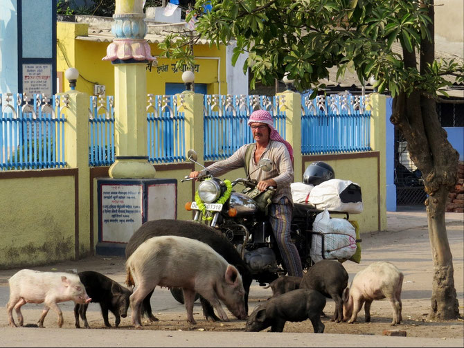 Täglich grüßt das Schwein