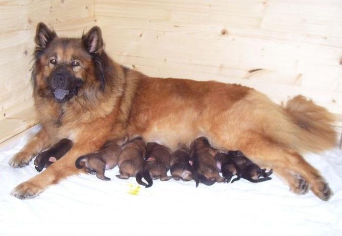 Mama Jamila mit ihren 8 Welpen (Foto: Eurasier vom Hohenzollern)