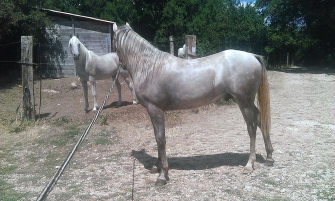 Krystal de Fontanel - mâle arabe deux ans, peut-être la suite de Saï el Nedj 14 ans, notre cheval de tête
