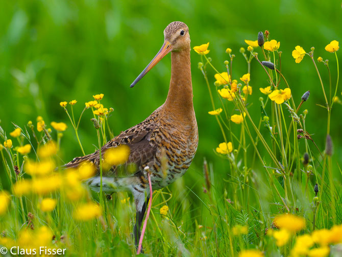 #Limosa limosa #Black-tailed godwit #Grutto