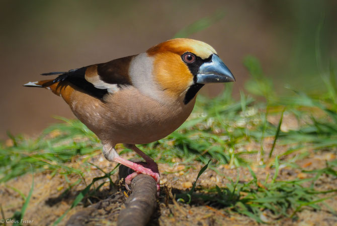 #Kernbeißer #Coccothraustes coccothraustes #Hawfinch #Appelvink