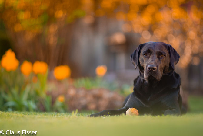 Labrador Bella