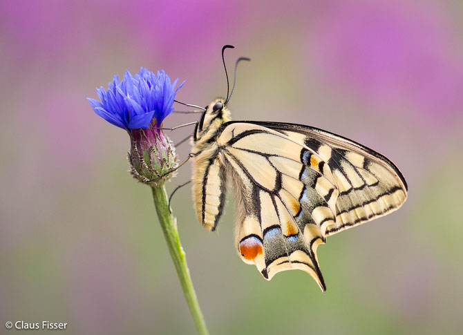 (Papilio machaon)