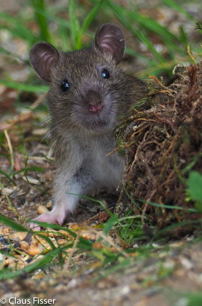 junge Ratte