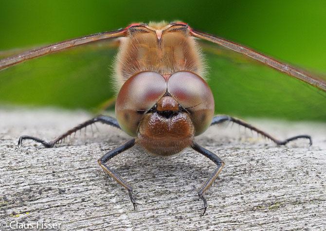 Große Heidelibelle (Sympetrum striolatum) Männchen