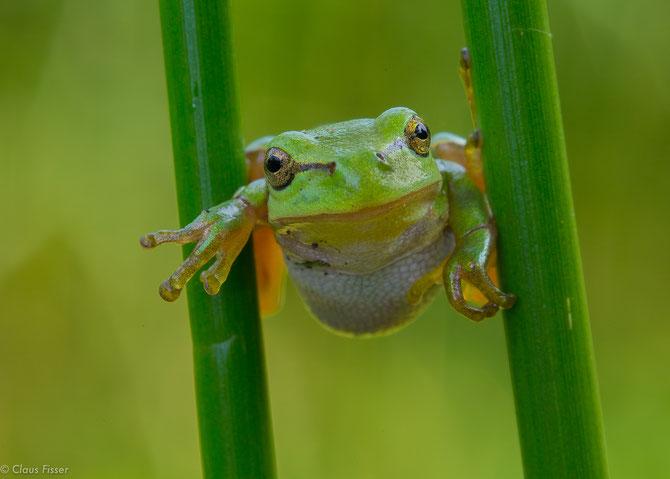 #Hyla arborea #European tree frog #Boomkikker