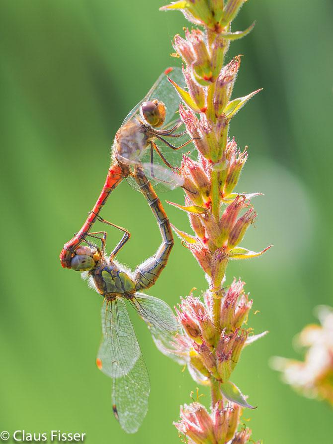 Paarungsrad der Heidelibellen