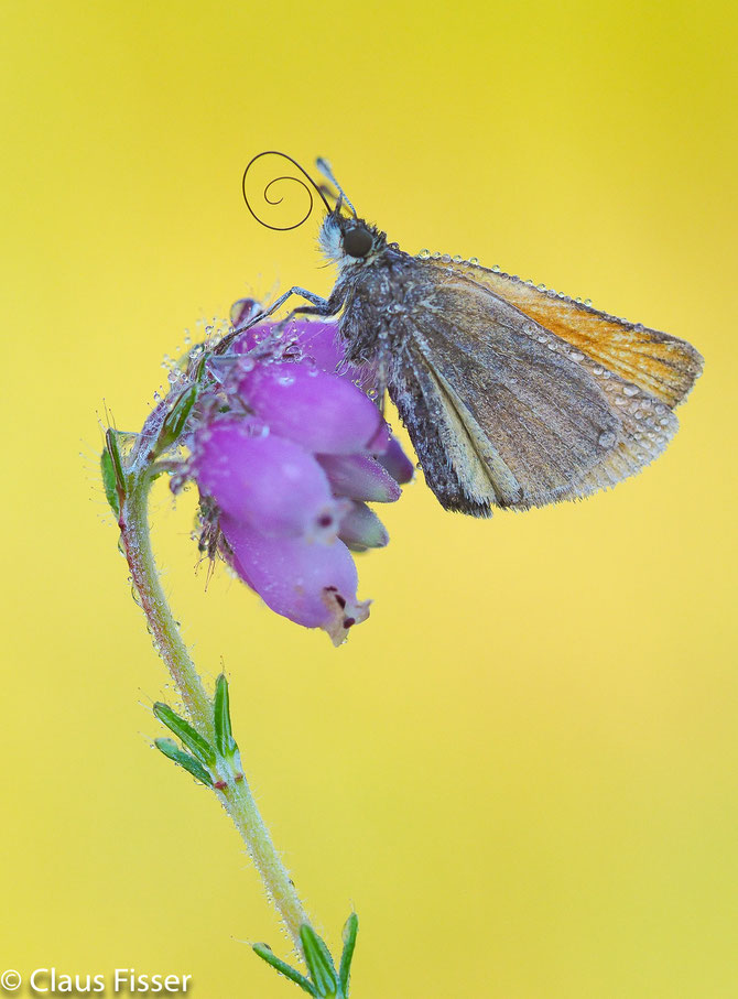Braunkolbiger Braun-Dickkopffalter - Thymelicus sylvestris