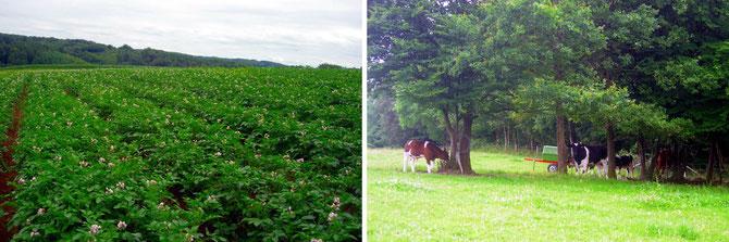 Blüte Kartoffeln und Rinder Rathshof