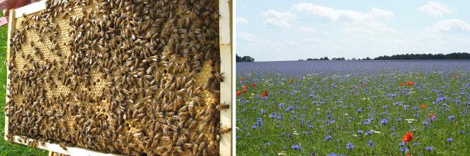 Bienen und Kornblumenfeld Imkerei Auenblick