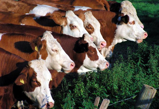 Tierklinik für Rinder und Ntztiere