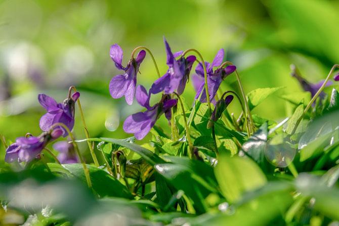 """""""Wenn die kleinen Veilchen blühn ..."""" Ein Vorgeschmack auf den nahenden Frühling"""