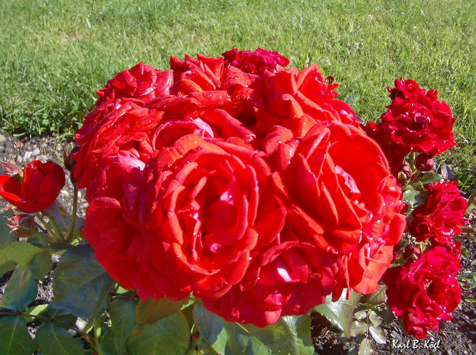 Die  Rose, Königin der Blumen